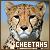 Cheetahs ♥