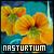 Nasturtium ♥