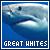 white sharks!